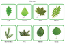 Подбор пары «Дерево - лист»